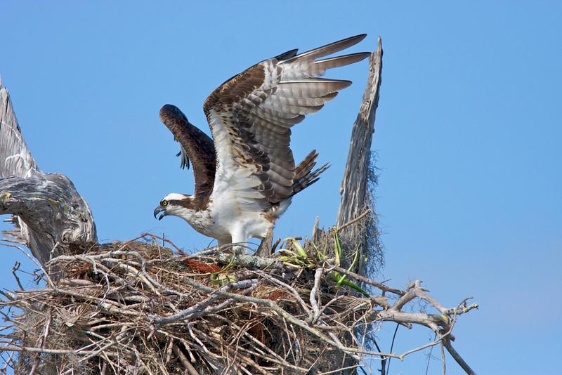 Adult Osprey tending nest.
