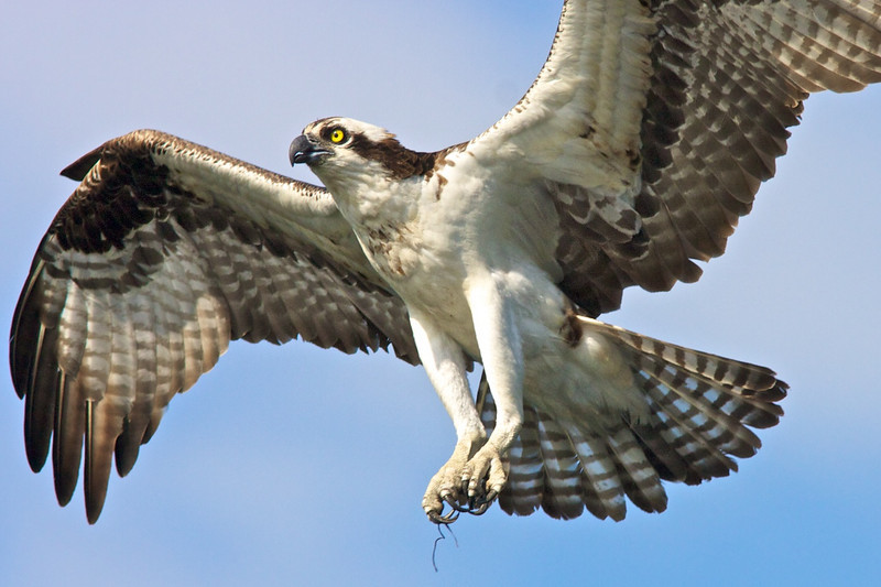 Close-up of adult Osprey.