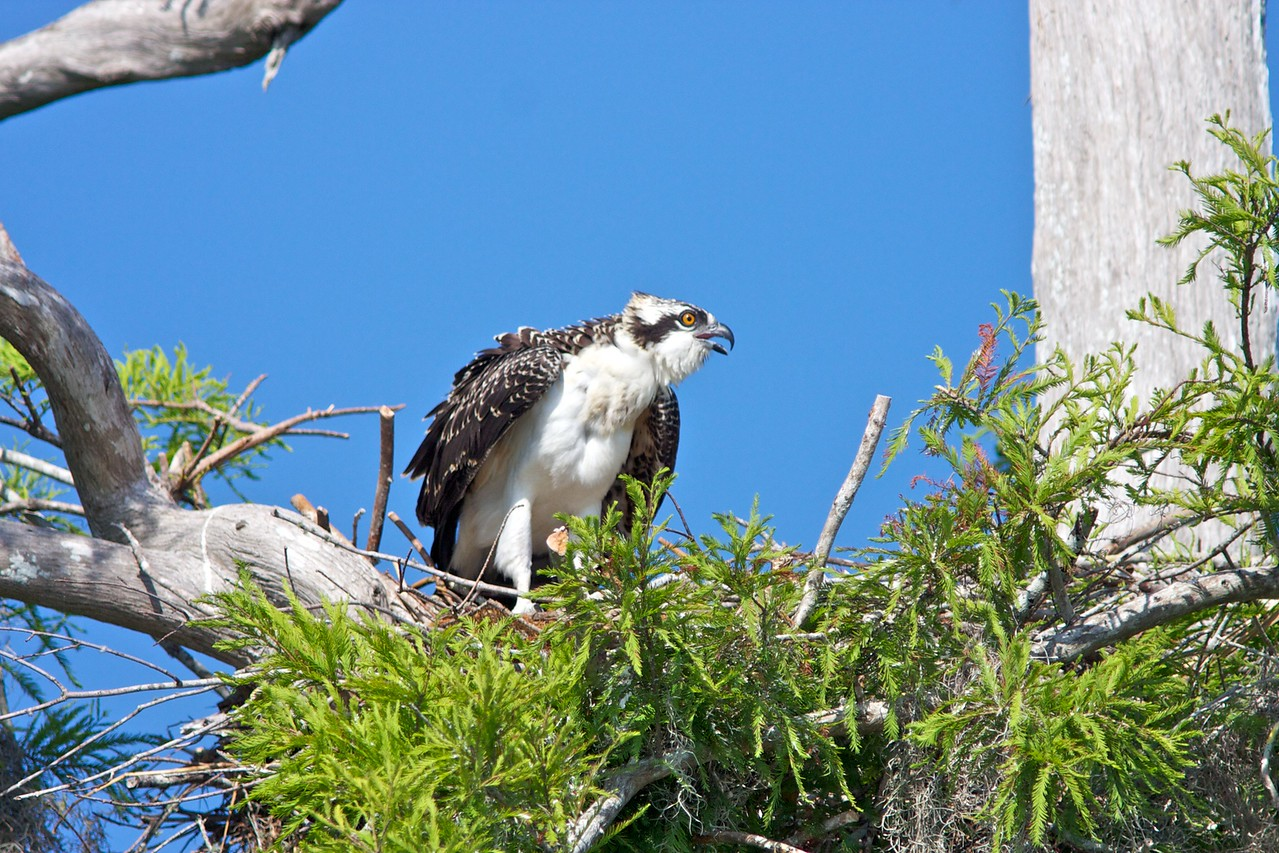Immature Osprey in nest.