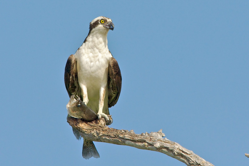 osprey with fish on perch