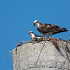 Ospreys
