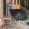 southern cassowary, cassowary house, kuranda, queensland australia