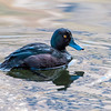 NZ scaup