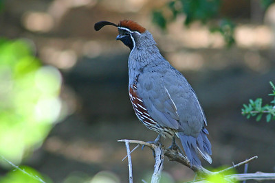 new world quail
