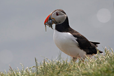 Papagaio-do-mar (Fratercula arctica) - colónia, em Farne Islands, Northumberland (Junho). Puffin, from colony in Farne Islands, Northumberland (June).