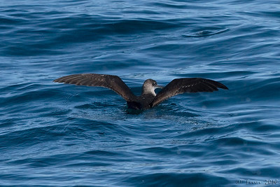 Pardela-das-Baleares (Puffinus mauretanicus) - entre Peniche e as Berlengas Balearic Shearwater, halfway from Cape Carvoeiro to Berlengas Islands