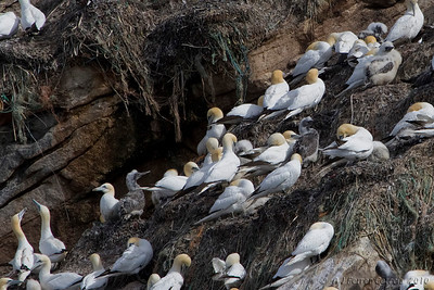 Colónia de Alcatraz ou Ganso-patola (Morus bassanus)  em ilhéu rochoso do Norte da Noruega. Vêem-se vários juvenis em diversos estados de plumagem (Agosto). Northern Gannet colony at a northern Norway rocky island. Several juveniles, in different stages of plumage development, can be seen (August).