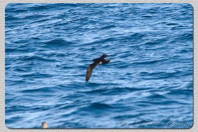 Pardela sombria ou Patagarro - Puffinus Puffinus (I. Madeira, perto do Funchal) Manx shearwater (Madeira isl., near Funchal)