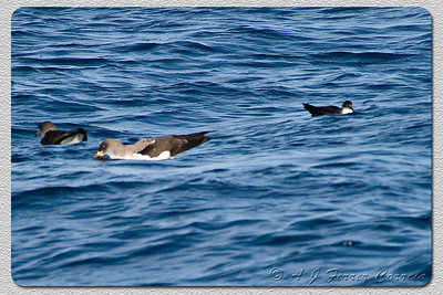 Pardela escura ou Patagarro - Puffinus Puffinus (I. Madeira, perto do Funchal - à direita) Manx shearwater (Madeira Isl., near Funchal) at right