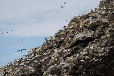 Colónia de Alcatraz ou Ganso-patola (Morus bassanus) em ilhéu rochoso do Norte da Noruega. (Agosto) Northern Gannet colony at a northern Norway rocky island. (August)