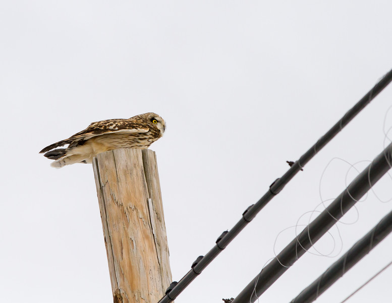 Short-eared Owl Highland Wind Project<br /> Short-eared Owl Perched on Utility Pole along Duno Dip Road Cambria Co. PA