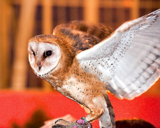 Barn Owl; Birds of pery show ottawa ex