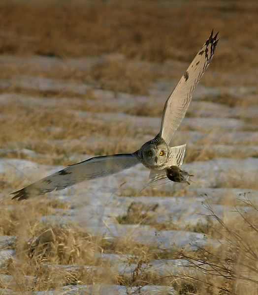 Winged Provider<br /> Winged Provider, Short-eared Owl, Adams County, PA