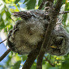 Barred Owl (youngster)