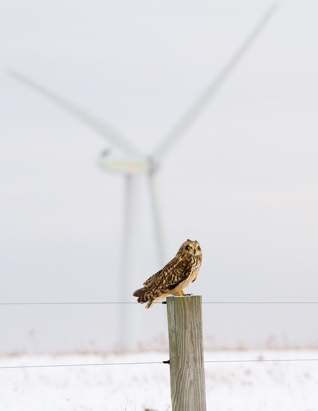Short-eared Owl Highland Wind Project<br /> Short-eared Owl Highland Wind Project Beaverdale, PA