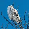 Snow_owl_0035tndci