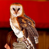 Barn Owl; Birds of pery show ottawa ex