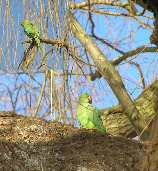 Ring Necked Parakeet, Thames Feb 2006