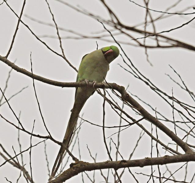 Ring Necked Parakeet Stoker Lake Mar 2012