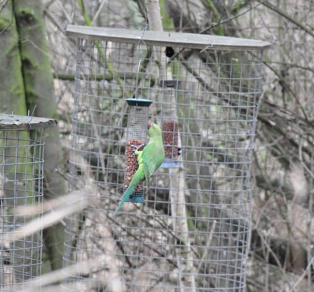 Ring Necked Parakeet London Wetlands Feb 2011