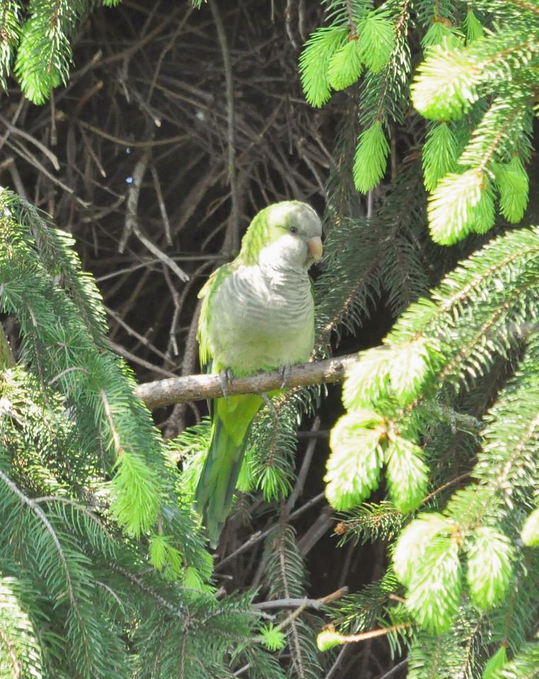 Monk Parakeet, Boreham Wood , May 2012