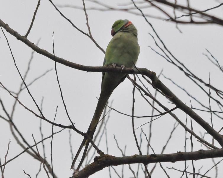 Ring necked parakeet Stockers Lake Feb 2012