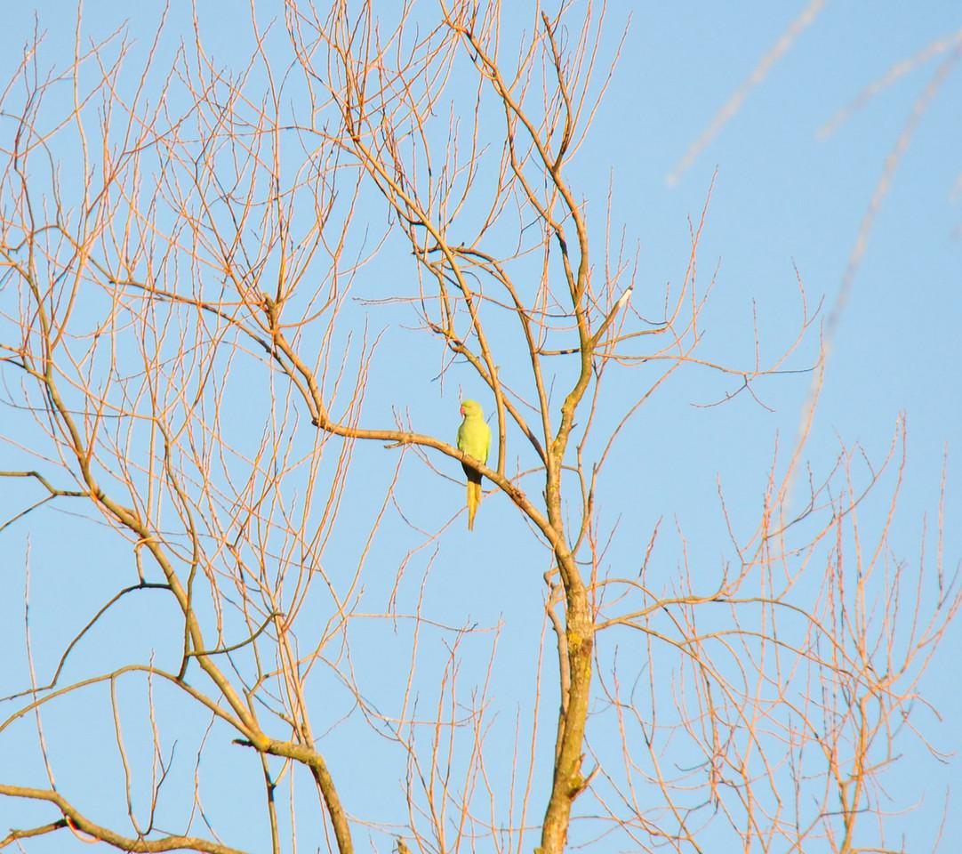 Ring Necked Parakeet Stockers Lake Car Park Feb 2011