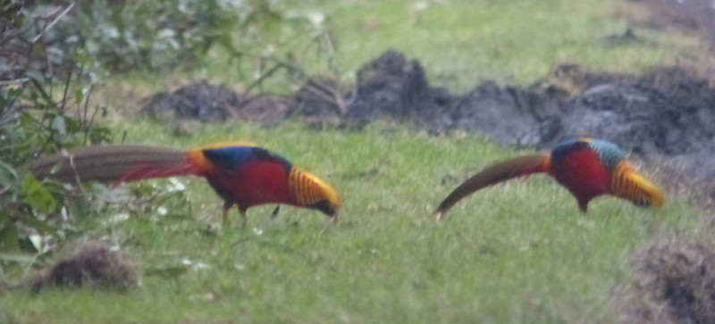 Golden Pheasant, Wolferton 2012