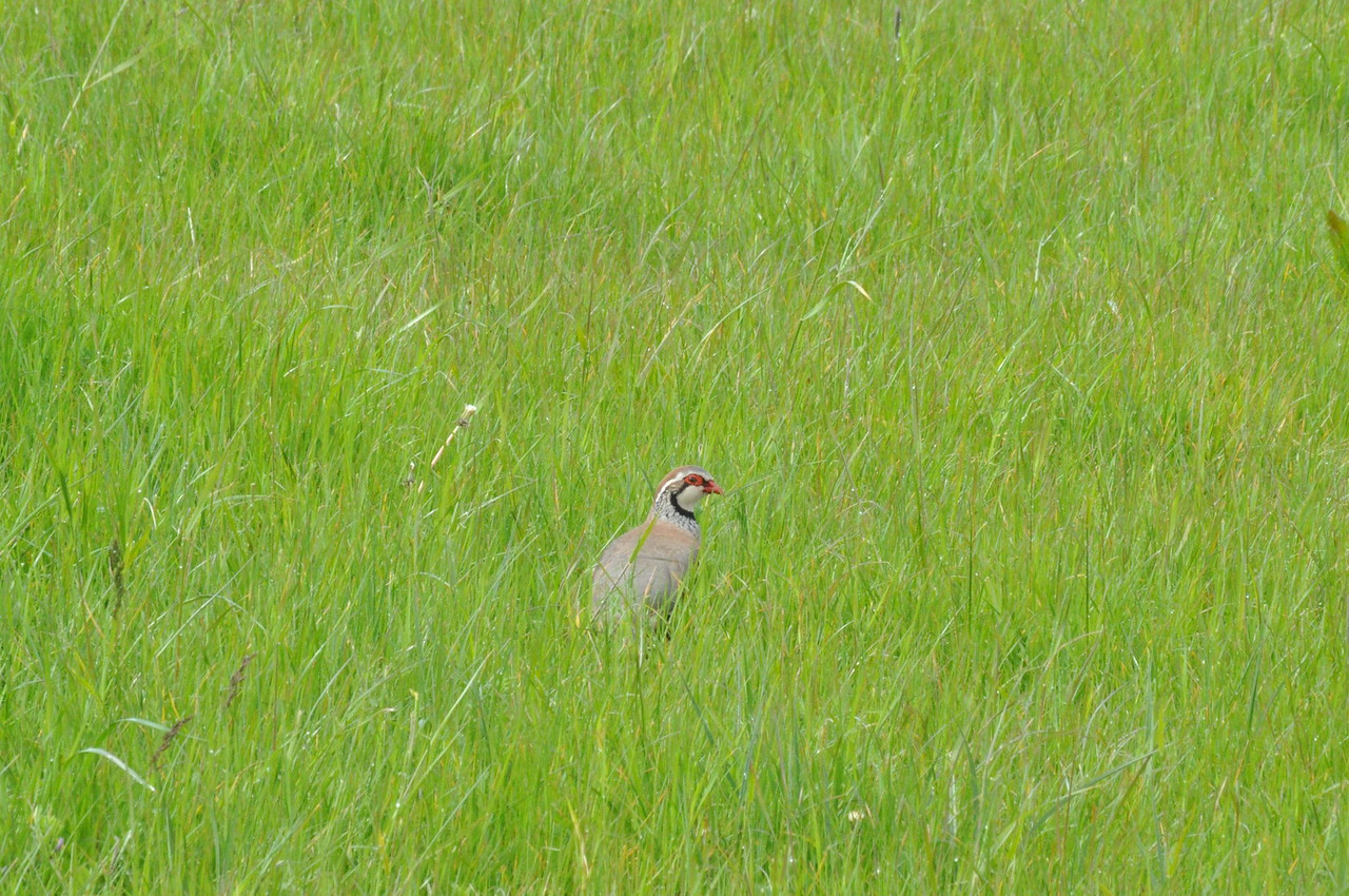 Red legged Partridge, 2012