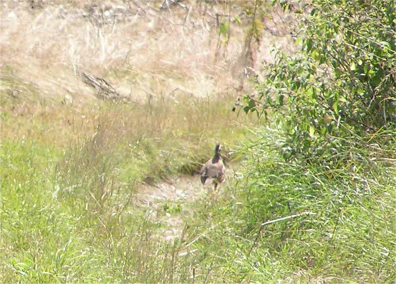 Grey Partridge Flackwell Aug 2005