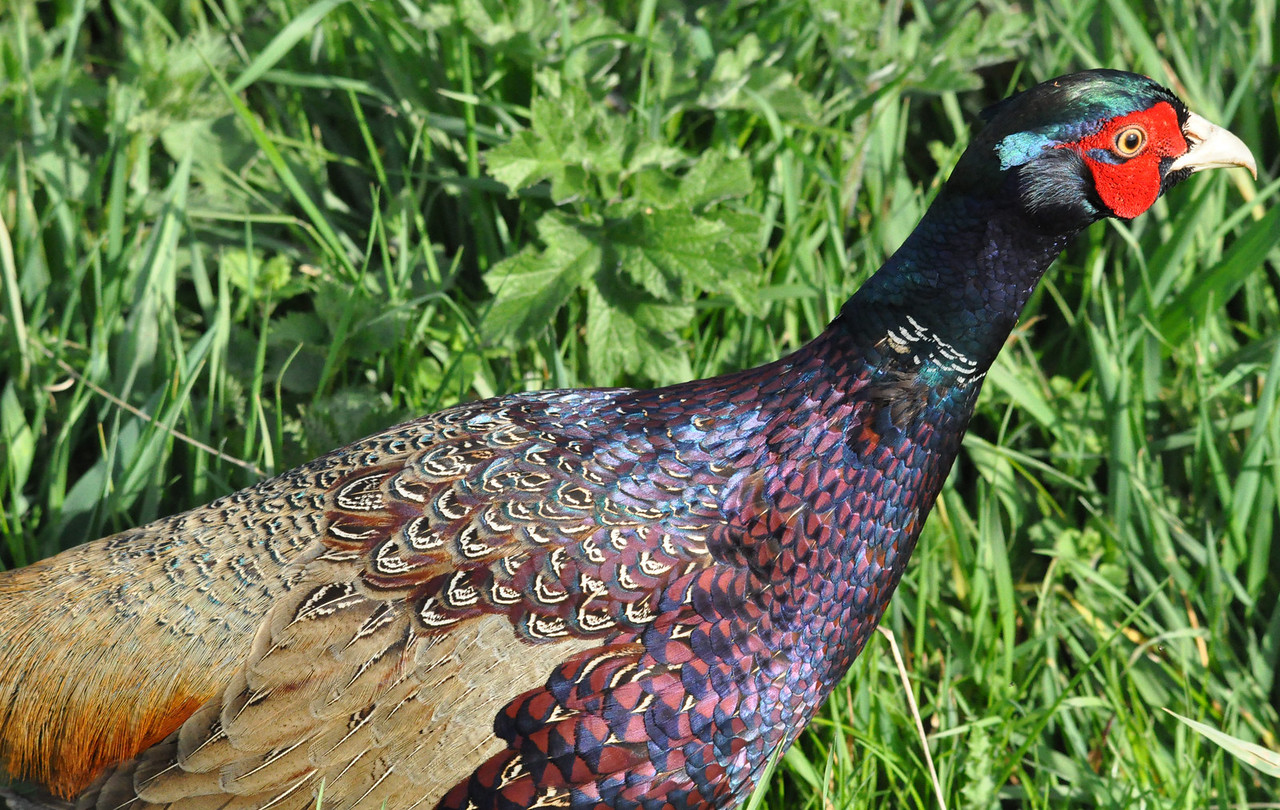 Pheasant close up Otmoor April 2011