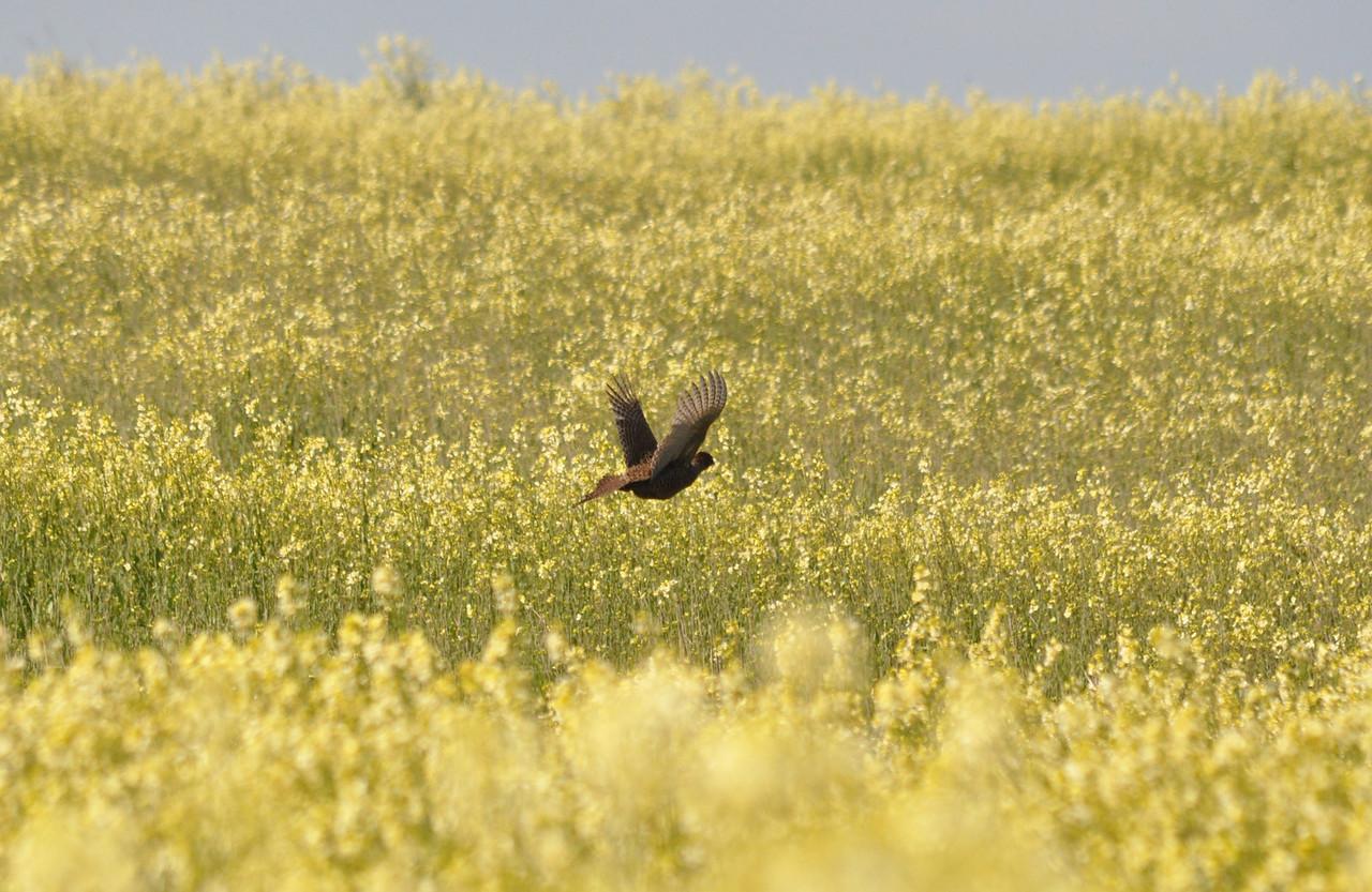 Pheasant Flamborough April 2011