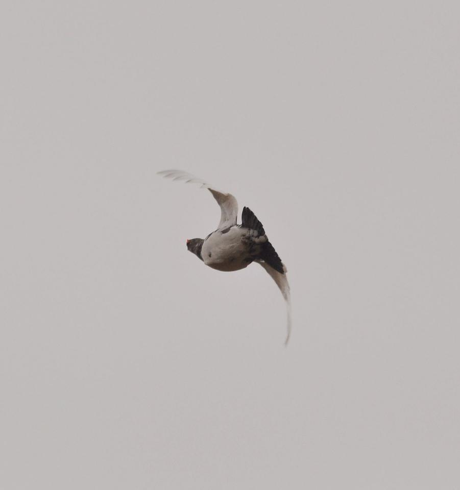 Grey Partridge, 2012