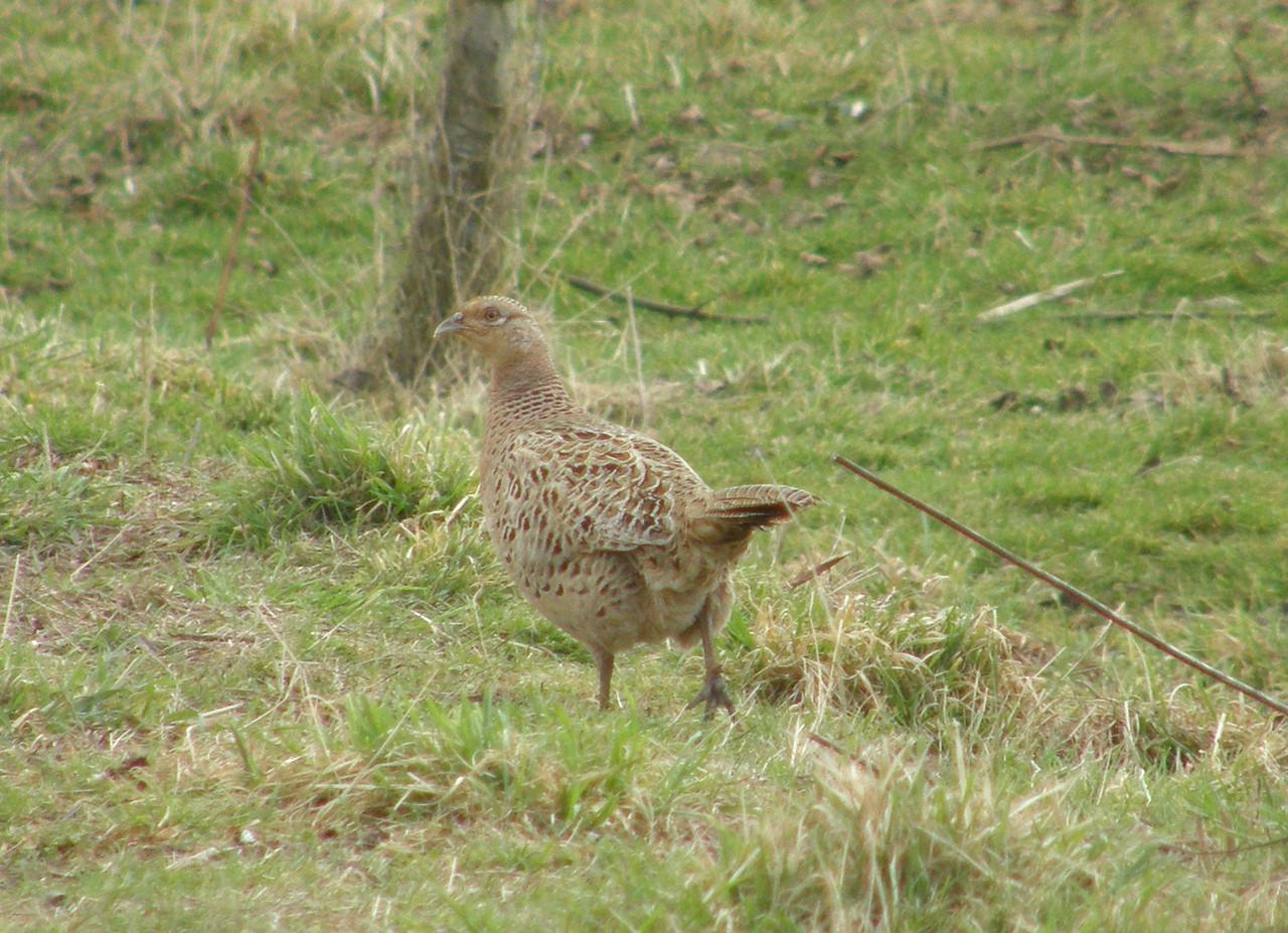 Pheasant (Female )Feb 2009 Minehead