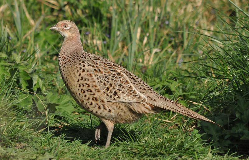 Female Pheasant Otmoor April 2011
