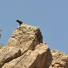black wheatear - profile - lanjaron - 06 may 09_4112908024_o