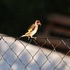 goldfinch-profile-1-lanjaron-25 may 2010_4639263535_o