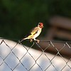 goldfinch-profile-lanjaron-25 may 2010_4639262989_o