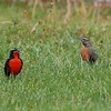 Male and Female Long-tailed Meadowlark