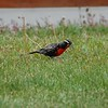 Male Long-tailed Meadowlark