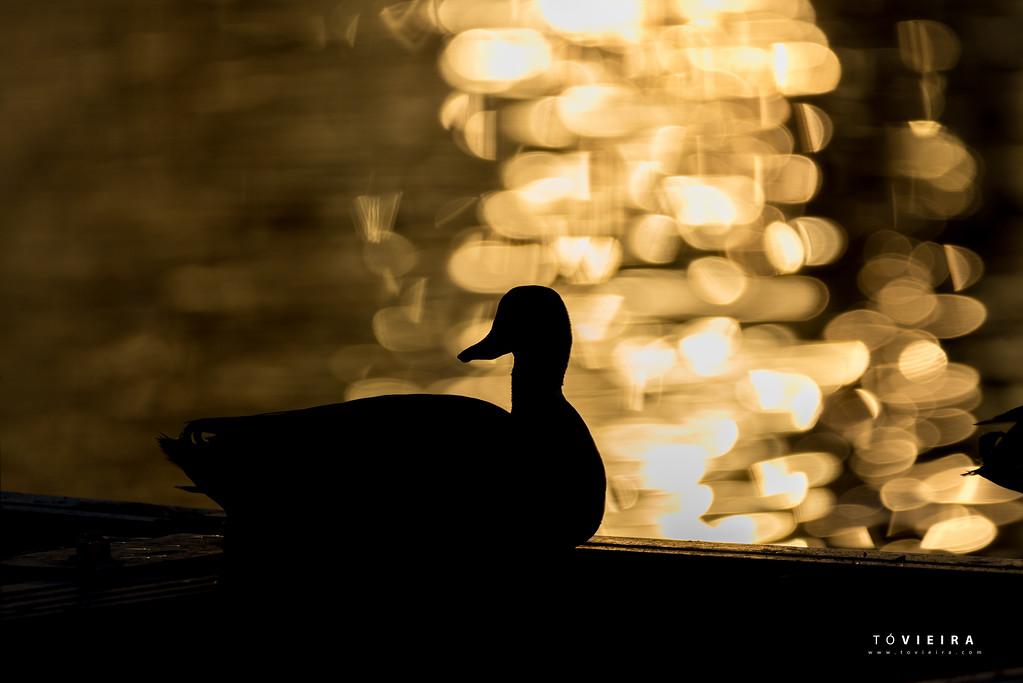 Mallard Ducks (Anas platyrhynchos)   in sunrise