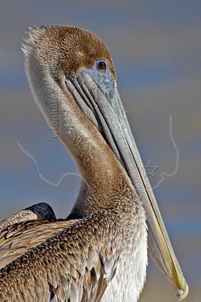 Brown Pelican, Juvenile<br /> High Island Beach, Texas