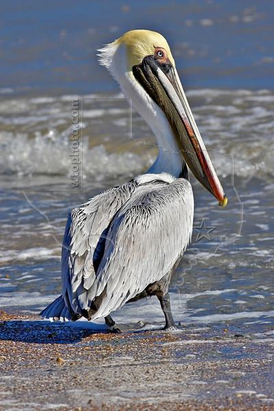 Brown Pelican,<br /> High Island Beach, Texas