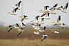 White Pelicans, Flight,<br /> Brazoria National Wildlife Refuge, Texas