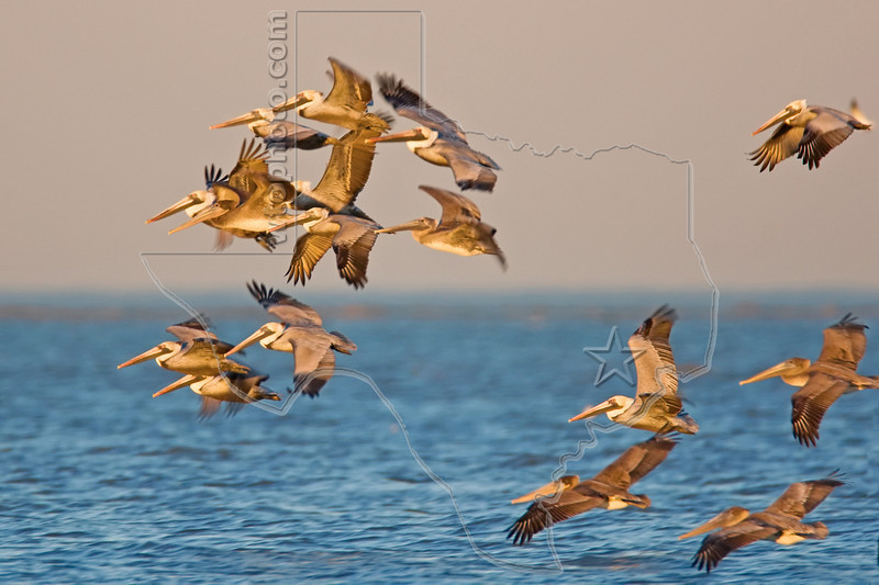 Brown Pelicans, Sunset Flight,<br /> East Beach, Galveston, Texas