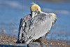 Brown Pelican,<br /> High Island Beach, Texas