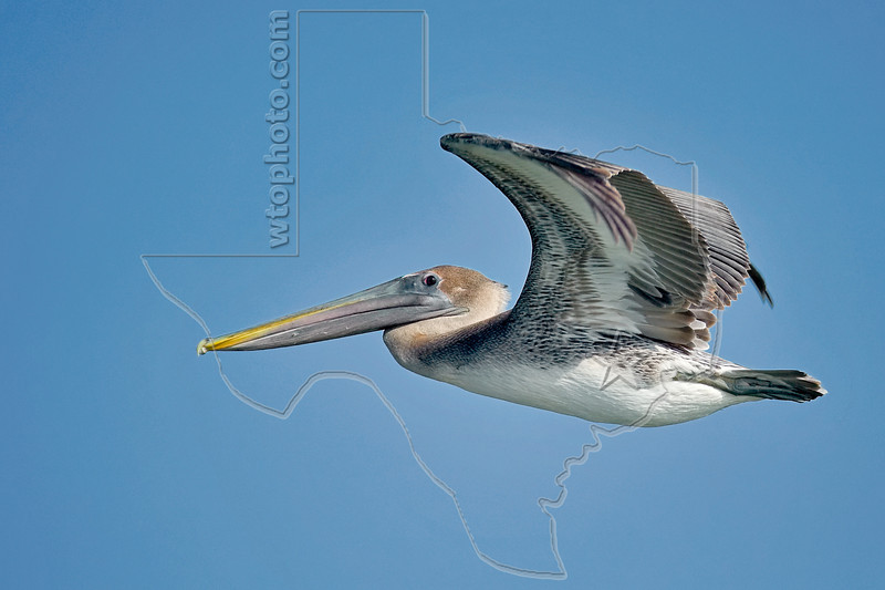 Brown Pelican, Juvenile, Flight,<br /> Quintana Jetty, Freeport, Texas
