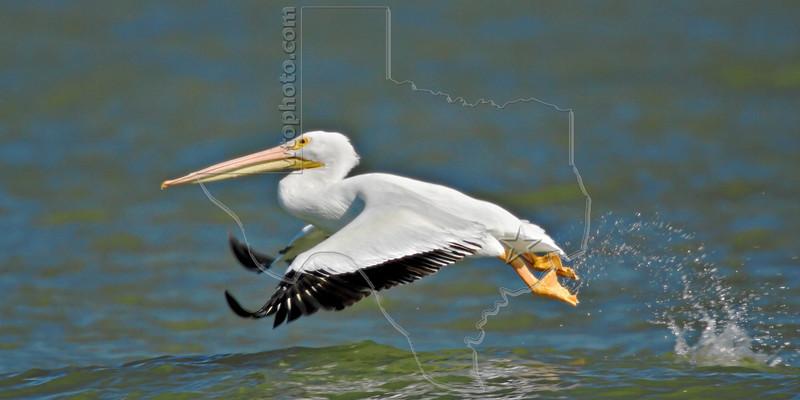 Whilte Pelican,<br /> San Louis Pass, Texas