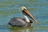 Brown Pelican,<br /> Rockport, Texas