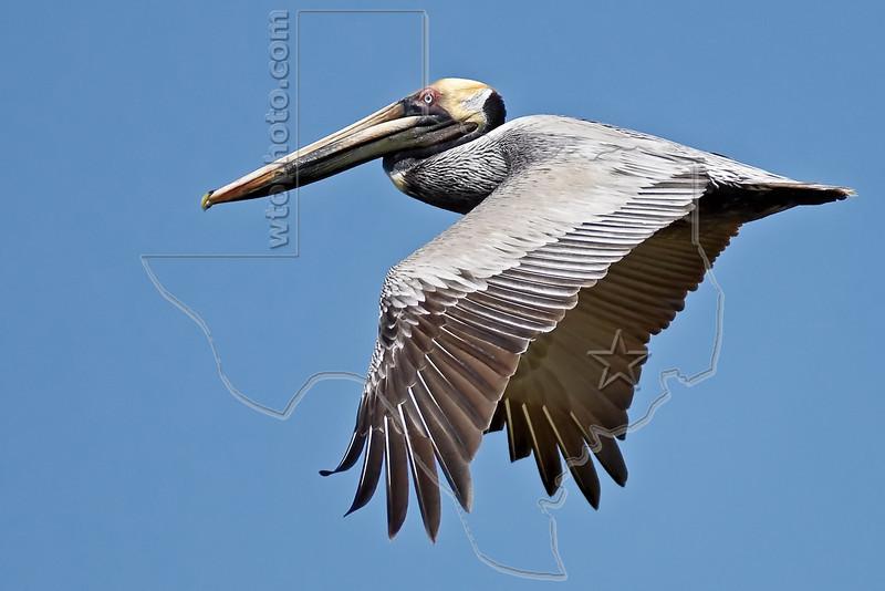 Brown Pelican, Flight,<br /> Freeport Jetty, Texas